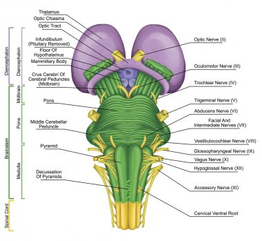 Brainstem, brain stem, ventral view, posterior part of the brain, adjoining and structurally continuous with the spinal cord, motor and sensory innervation to the face and neck via thecranial nerves