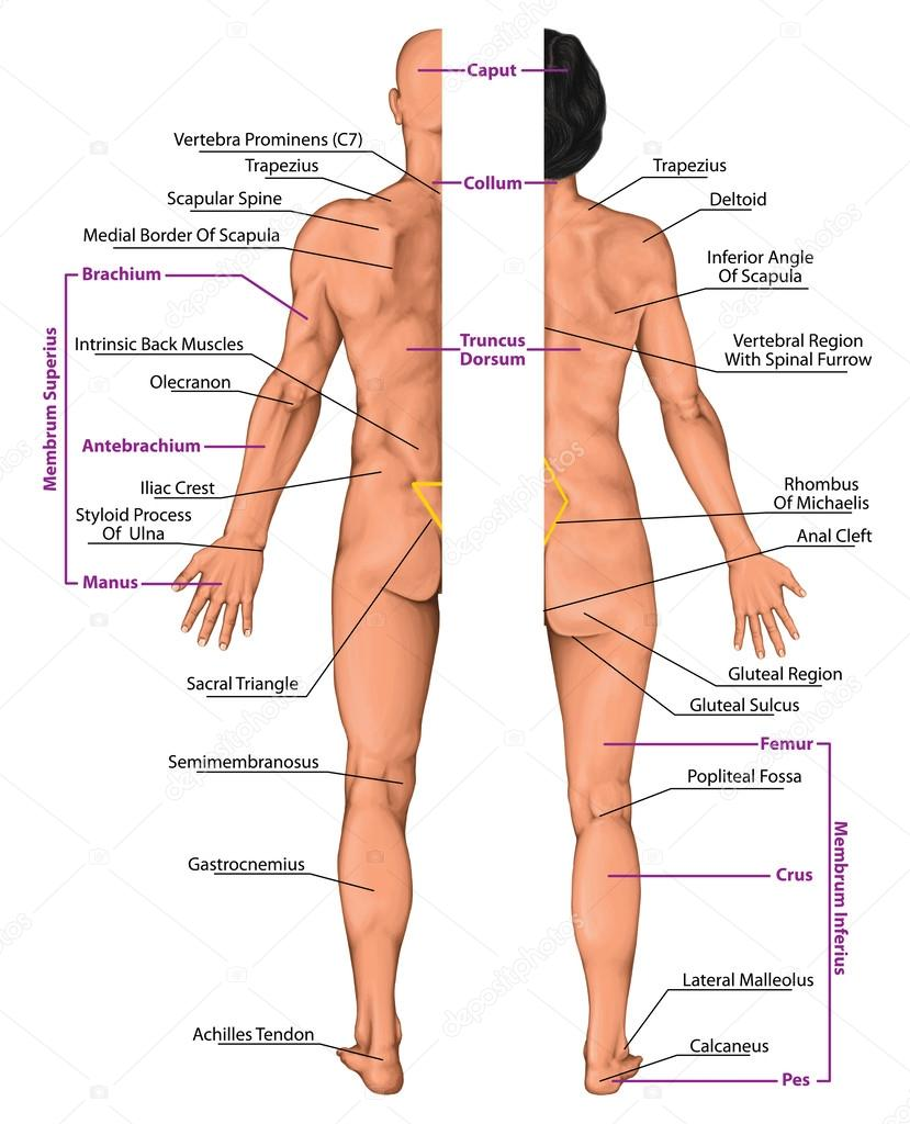 Male and female anatomical body, surface anatomy, human body shapes ...