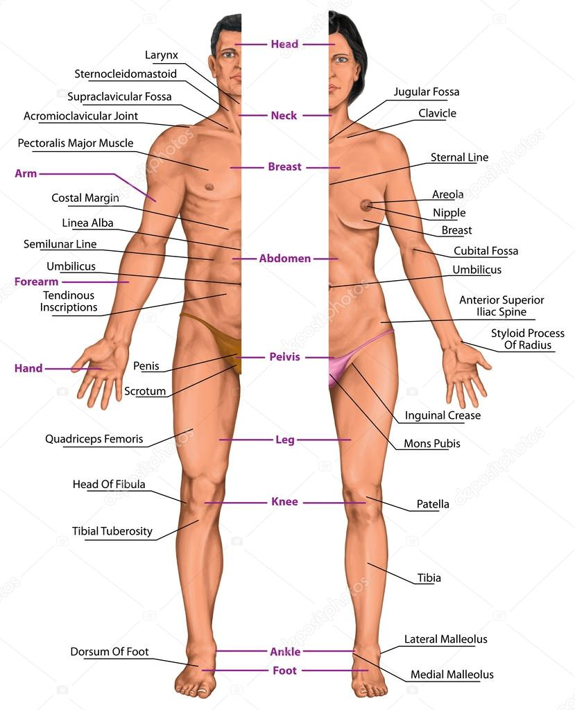 male and female anatomical body, surface anatomy, human body shapes,  anterior view,