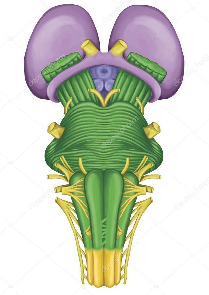 Tronco encefálico, tronco cerebral, vista ventral, adyacente y ...