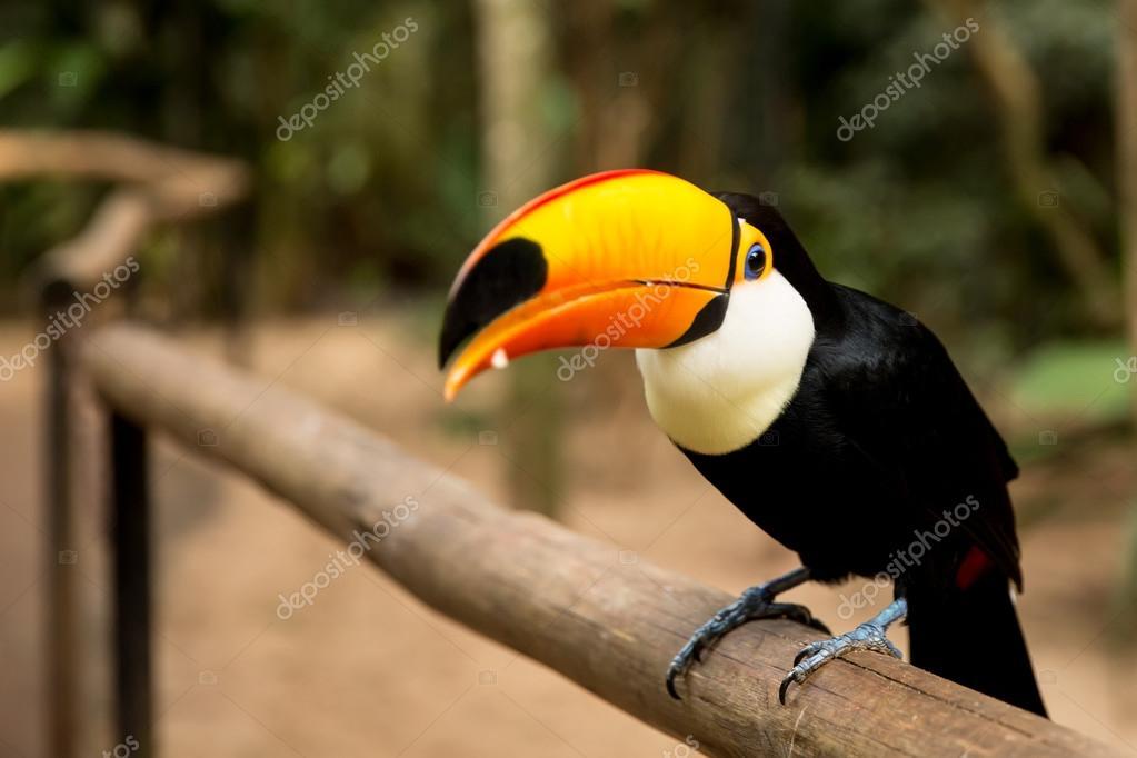 Toucan bird on the nature