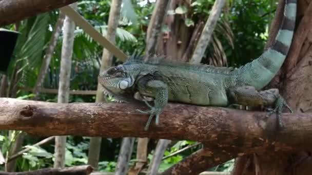 Leguán ještěrka v Brazílii