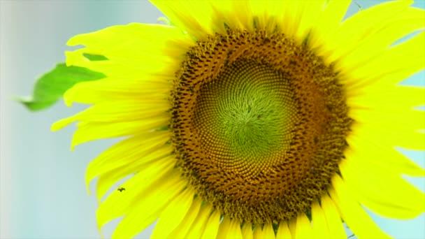 Slunečnice s včela