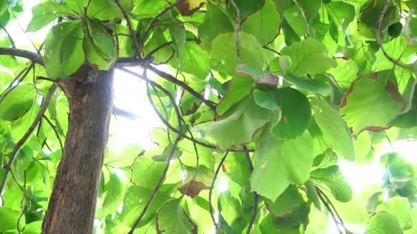 Teakbaum blatt  Teak-Baum mit grünen Blättern im wind — Stockvideo © antpkr #118747712