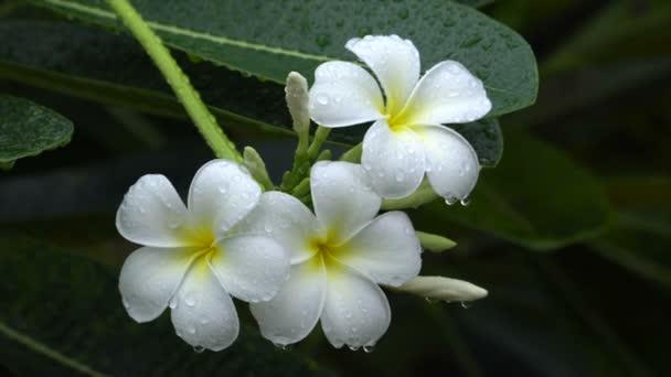 plumeria flower with rain