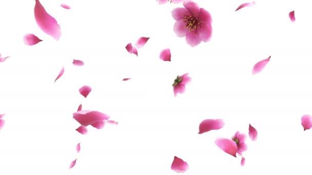 3D animáció egy rózsaszín cseresznye sakura virág szirmok áramlását alfa réteg