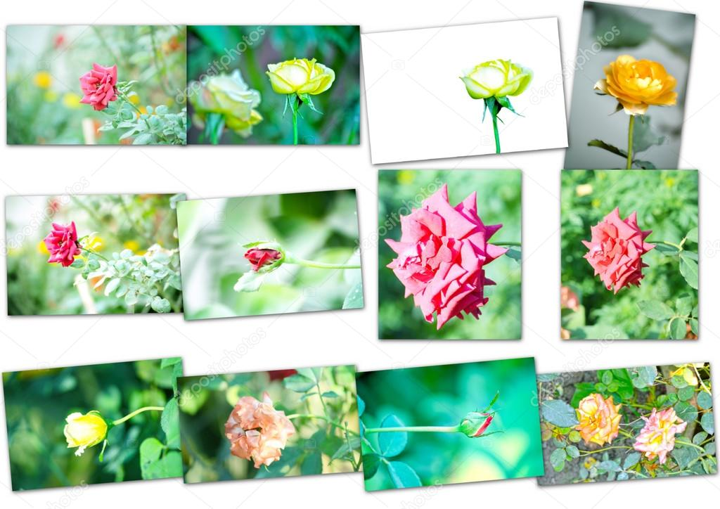 Collage of rose flowers
