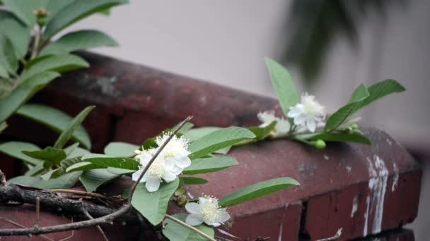 Hmyz k opylování květů růže Apple