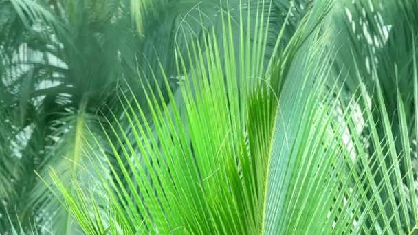 Closeup Coconut Palm Leaves