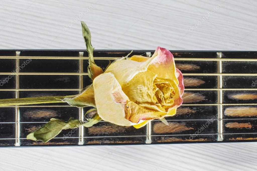 Wilted rose flower on guitar fretboard isolated
