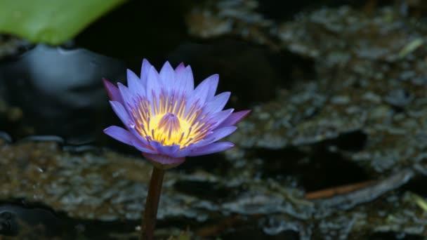 lotosový květ v rybníku