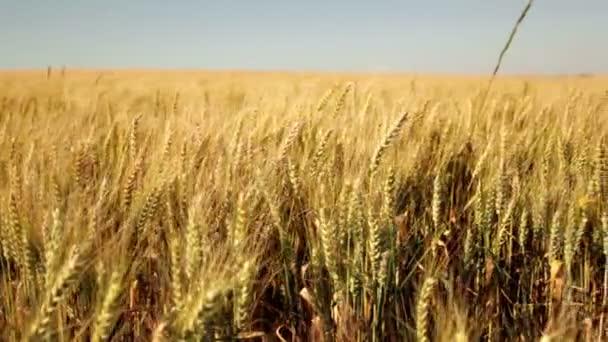 wheat field against sun