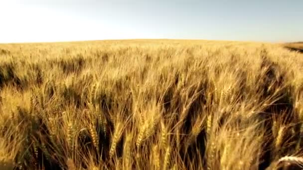 huge wheatfield in summer sunset