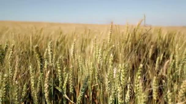 nyári naplementében hatalmas wheatfield