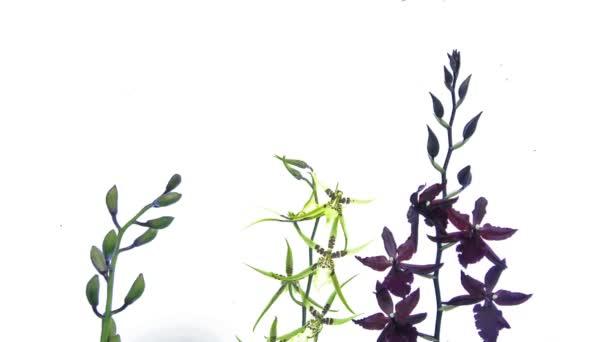 timelapse tři orchideje