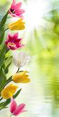 Obrázek krásných květů tulipánů v zahradní closeup