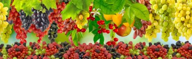 many grapes on a green background