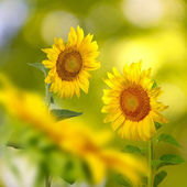many beautiful sunflowers in the meadow closeup