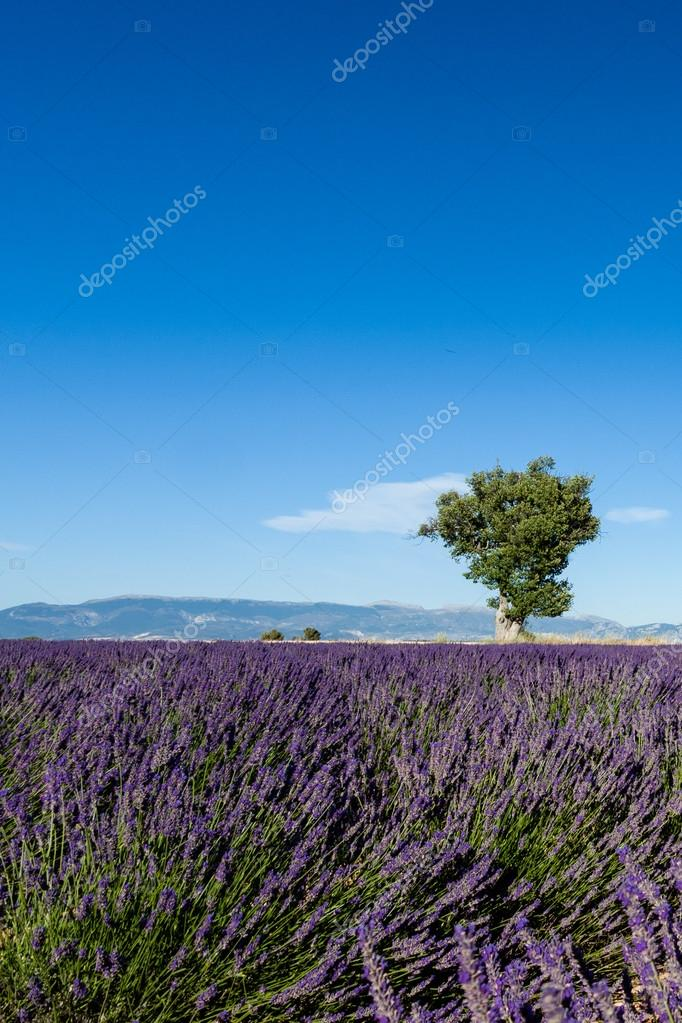 Lavender fields with lonely tree in Provence, France