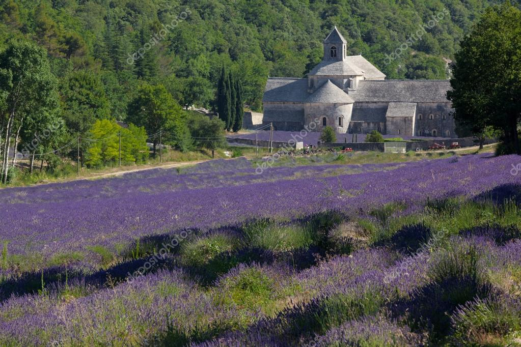 Blooming field of Lavender in front of Senanque Abbey, Gordes, Vaucluse, Provence-Alpes-Cote d'Azur