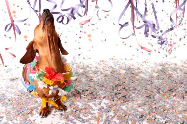 Happy dachshund at Carnival party