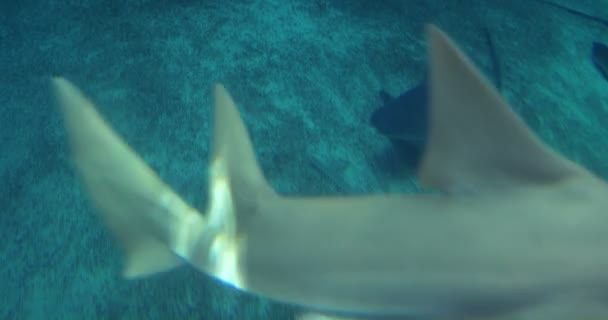 A group of Sandbar Sharks