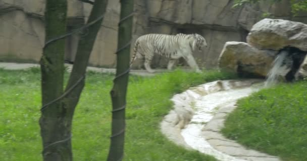 A white Bengal tiger in zoo
