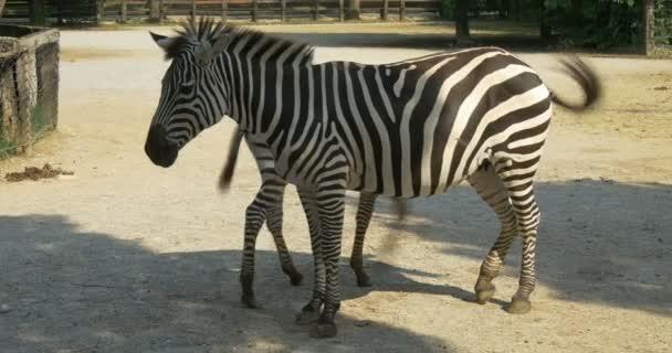 Dítě zebra na kojení