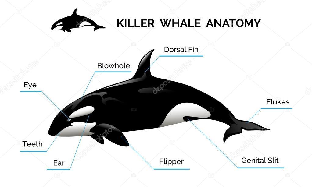 Anatomía de la ballena asesina — Archivo Imágenes Vectoriales ...