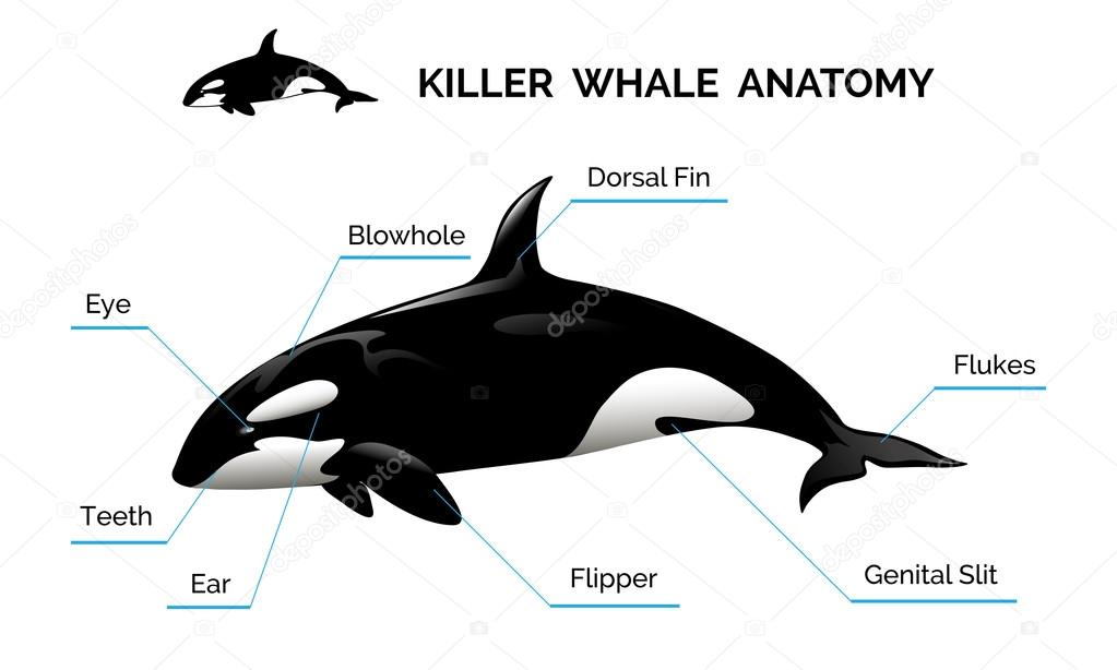 Fein Anatomie Eines Orca Galerie - Anatomie Ideen - finotti.info