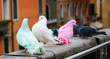 Four colorful pigeons on bridge