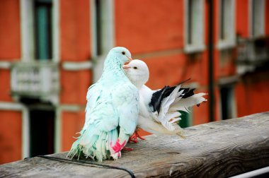 colorful kissing pigeons on bridge