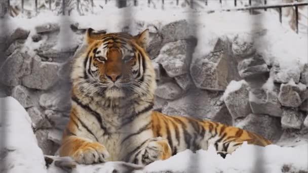 Tygr amurský spí na kamenech v zoo v zimě