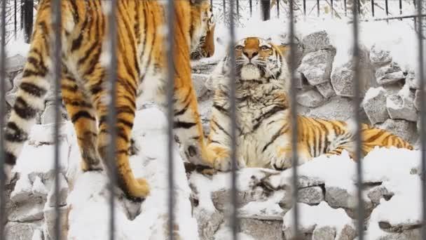 Két fiatal Amuri tigrisek játszik a kövek az állatkertben