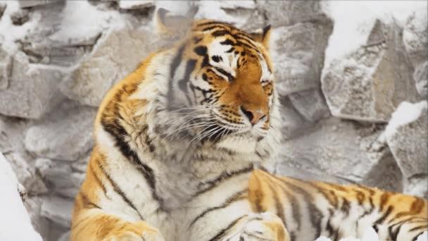 Amur tigris portré alszik egy állatkertben kövek
