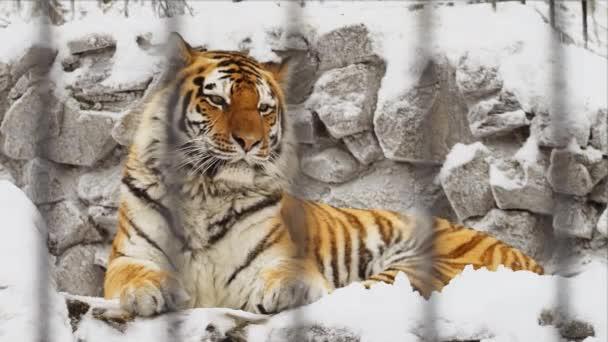 Tygr amurský zíval na kamenech v zoo v zimě