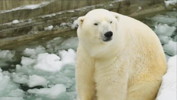 Polar bear sits in the zoo in the winter