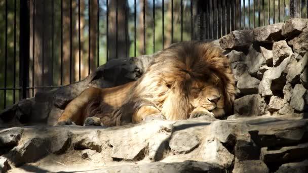 Africký Lev spí v kleci