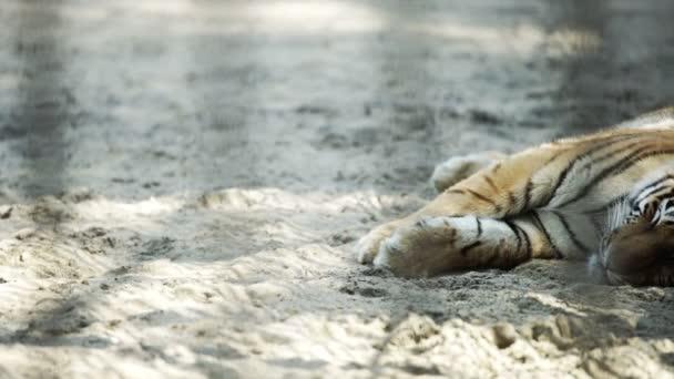 Tigre dellAmur giovane dormendo, il monitoraggio