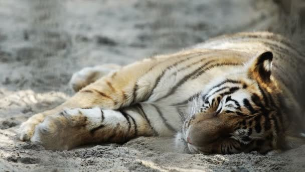 Portrait of Young Amur tiger sleeping