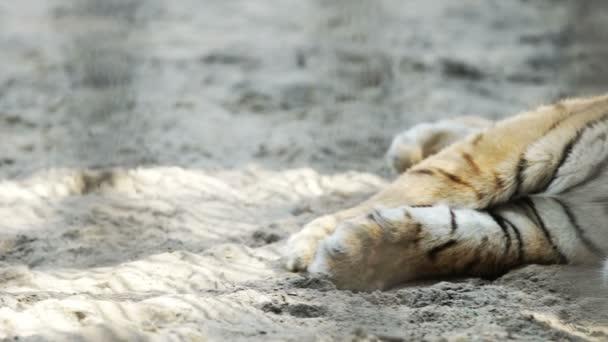 Chiuda in su della giovane Amur tiger (rilevamento di sonno)
