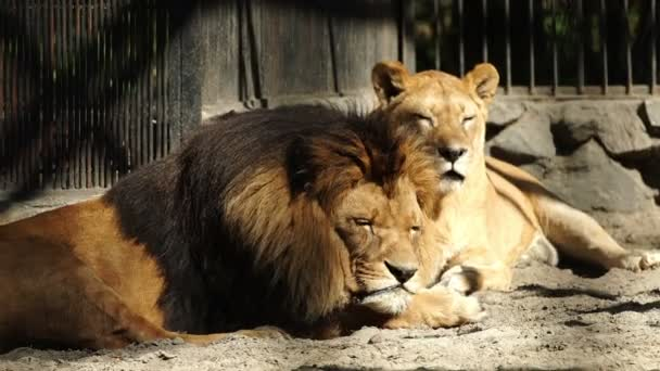 Old lion and lioness resting