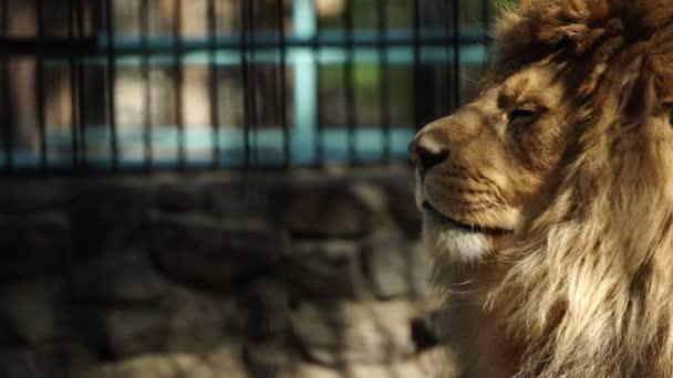 Portrét africký lev, sledování