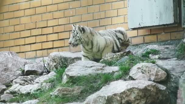 White bengal tiger cub walking