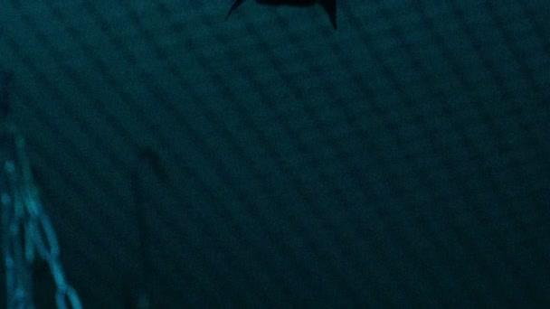 Rosettenflughunde (Hund-gegenübergestelltes Fruchtfledermaus) kopfüber hängend