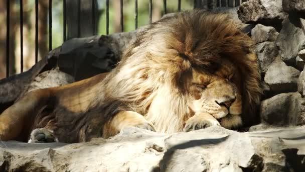 Portrait of African lion sleeping