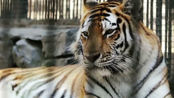 2 clip: Amur tiger riposo allo Zoo