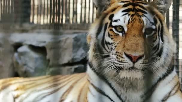 portrét tygr amurský