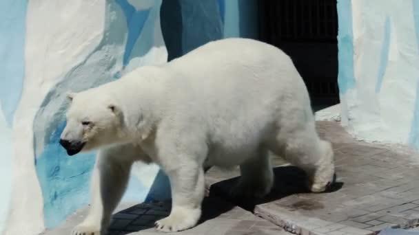 Polar bear walking in his aviary