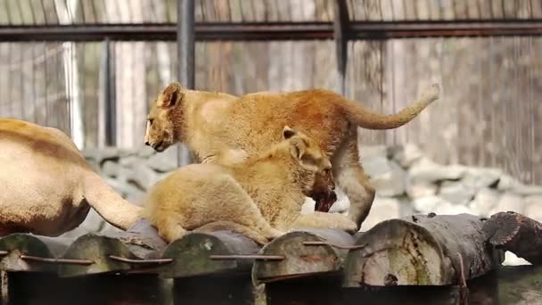 Lion cub playing with the tail of a lioness